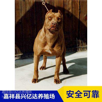 嘉祥县兴亿达小比特犬狩猎犬养殖场直销