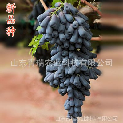 山东 嫁接树 甜蜜蓝宝石葡萄树 南方北方种植 庭院盆栽 地栽果树