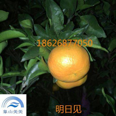 柑橘树苗明日见,晚熟杂柑,日本柑桔新品种,果皮光滑,耐储运