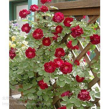 北京月季花基地卖大花月季,藤本月季,月季树,蔷薇