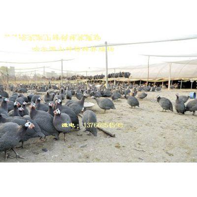 大庆珍珠鸡养殖场、珍珠鸡雏、绥化珍珠鸡养殖场、珍珠鸡雏、伊春珍珠鸡养殖场、珍珠鸡雏、