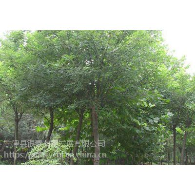 山东省宁津县柴胡店镇崔扬村银泰苗圃基地种植的国槐是道路绿化和园林绿化的。