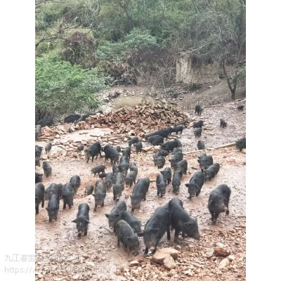 江西樟树市有放养藏香猪苗的么