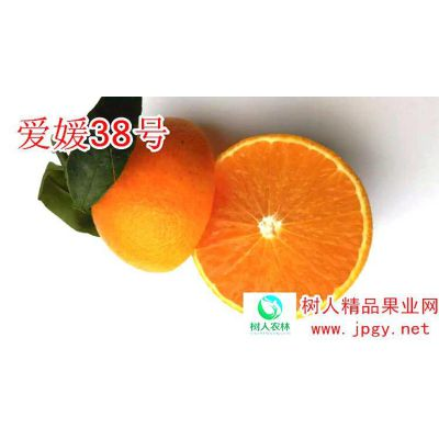 柑橘种植产业品种选择爱媛38号红美人品质***稳定售价糖度高