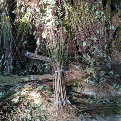 2年嫁接李子苗 高度2米粗度3公分李子树苗
