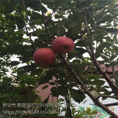 天汪1号苹果苗