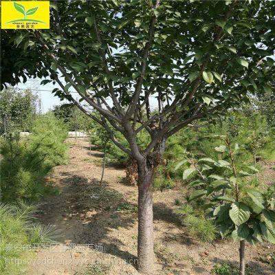 5公分樱花树 著名观赏树 绿化工程行道树 8公分以上规格
