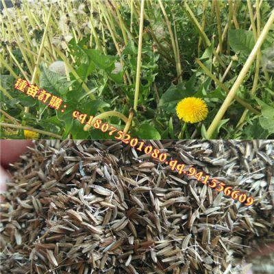 蒲公英种子怎样种植:蒲公英种无休眠,15度以上即可播种
