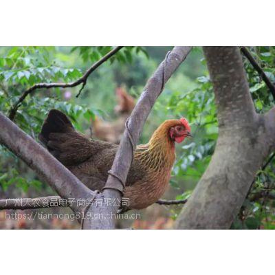 天农食品-清远鸡肉肉质细嫩,滋味鲜美