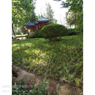 单位绿化,草坪种植,种植丹麦草,铺草坪,园林绿化