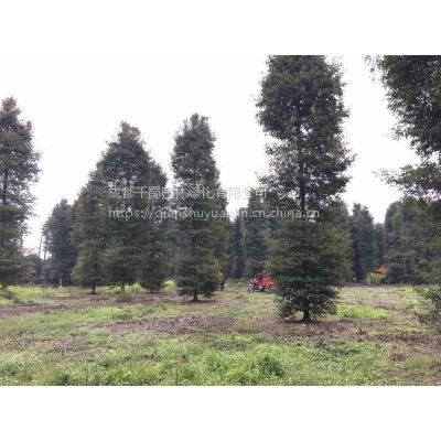 基地直销直径25-28-30-35公分正宗小叶桢楠,正宗金丝楠木产地直销价格批发价格
