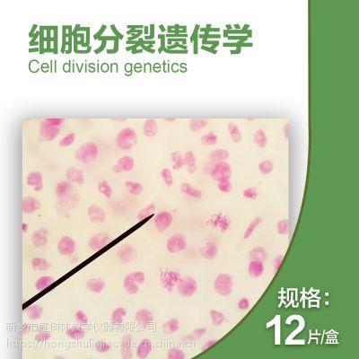 直销高教12片装教学实验生物玻片标本洋葱花药减数分裂显微玻片