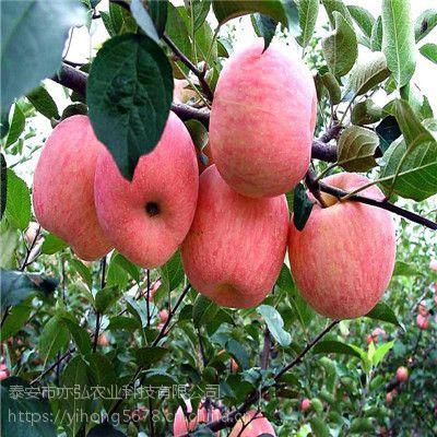 苹果苗推荐 珊夏苹果苗供应