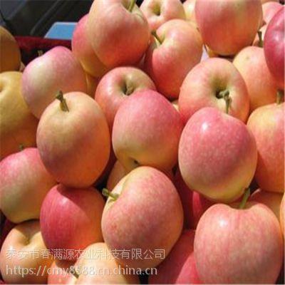 红富士苹果苗杯苗