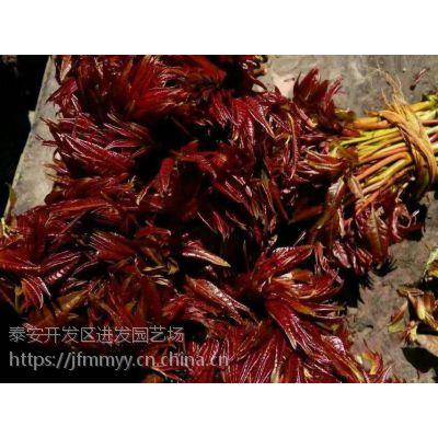 供应红油香椿树