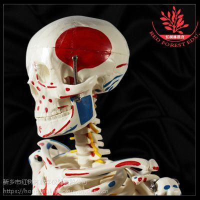 店长推荐高仿真人骨骼模型纯手工组装关节可动 85cm人体骨骼模型