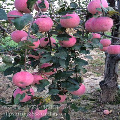 红富士苹果苗降温