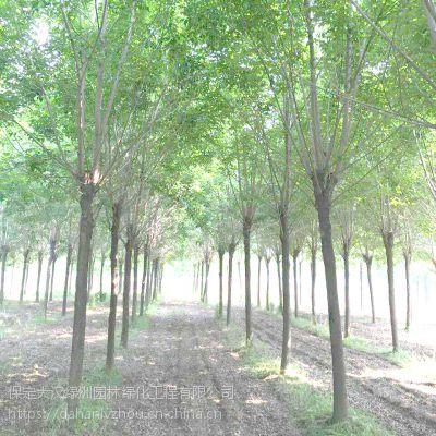 保定大汉绿洲出售6公分国槐