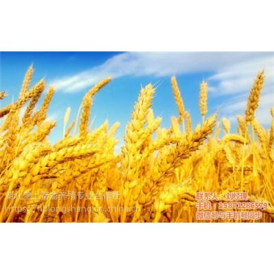 今年小麦价格|荆门小麦|垄上畜禽