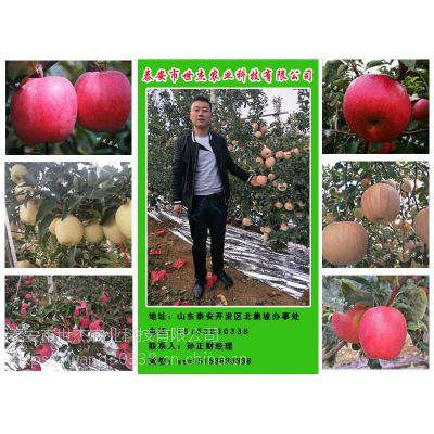 大型鲁丽苹果苗育苗基地优质品种上市!(附图)