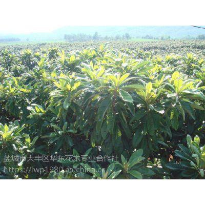 3公分枇杷树价格 10公分枇杷树价格