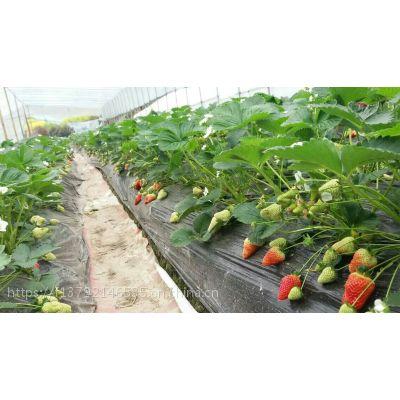 出售优质的草莓苗批发 南北方种植 品种齐全 苗高10-20cm 优质草莓苗 欢迎来购买!