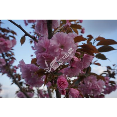 广安樱花树苗厂家报价 优质樱花树苗品种繁多