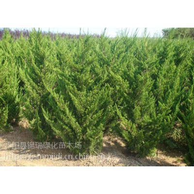 龙柏树哪里便宜 2米3米4米龙柏树价格江苏主产地更便宜