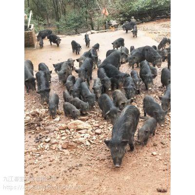 广东汕头市藏香猪卖多少钱一斤