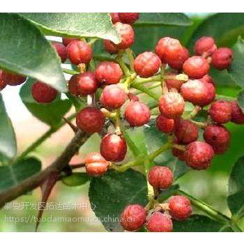 大红袍花椒苗 花椒幼苗 花椒苗品种