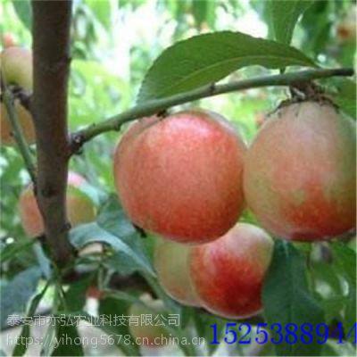 黄金油蟠桃苗品种推荐