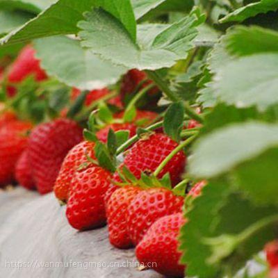 甜查理 法兰地 四季 妙香 草莓苗 成活率高 质优价廉品质可靠 现起现卖 支持空运快递山东万亩丰茂