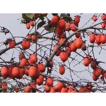 出售鸡心果树苗 供应抗寒鸡心果树苗 出售鸡心苹果苗