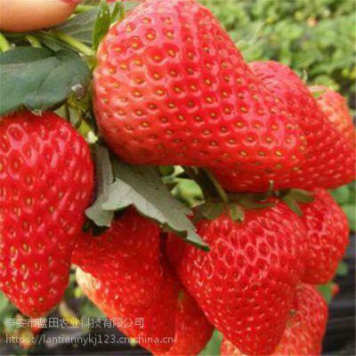 我想买草莓苗新品种 京藏香草莓产量 奶油草莓苗价格