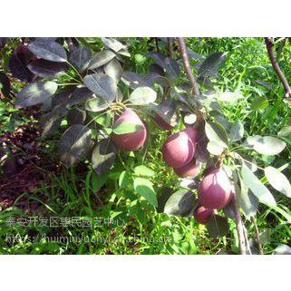 山东烟台莱阳梨 红巴梨 红香梨 梨树苗种植基地 农户直销