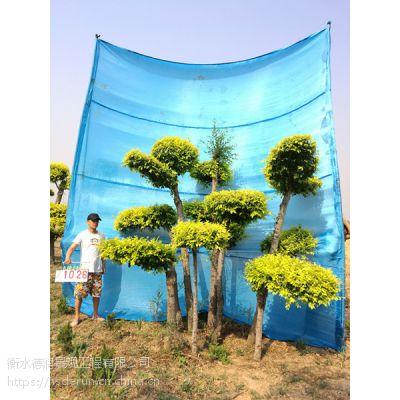 金叶榆造型树--别墅景观树/树的造型设计/景观树设计/景观造型树 衡水德润景观