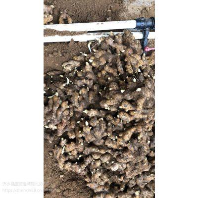 山东姜种批发行情什么季节种植生姜
