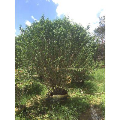 福建绿篱用木槿树冠幅饱满,园林树木槿苗袋苗上车价格怎样