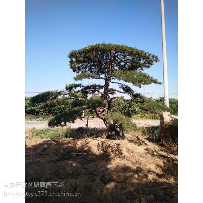 供应各种-造型油松-景观松-泰山景松-造型平顶松