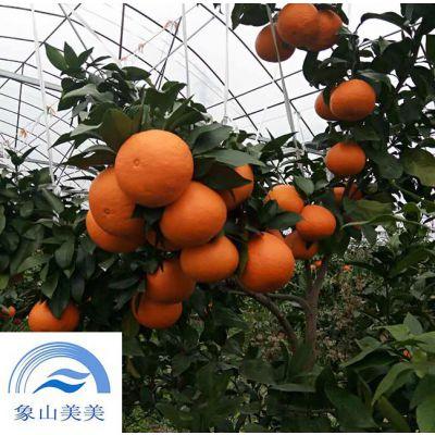 桔子苗象山红美人,早熟杂柑,柑桔新品种,树势略强,枝梢粗壮