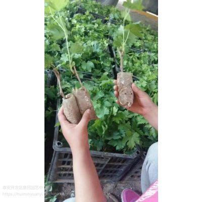 山东泰安葡萄扦插芽苗 营养袋葡萄苗销售中心 批发价格