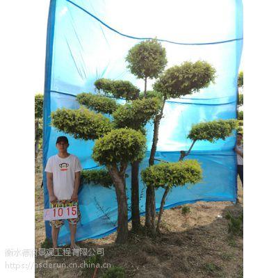 衡水德润景观 金叶榆造型树/别墅庭院景观树/树的造型设计/景观造型树