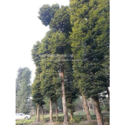 供应直径25-30公分金丝楠木,正宗小叶桢楠树价格,四川小叶桢楠价格