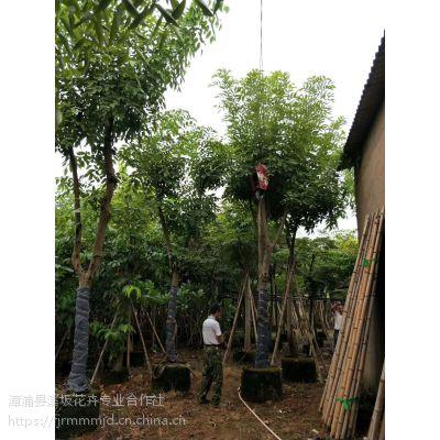 供应 福建 腊肠树 树 苗 价格 产地 市场 批发