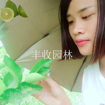 阳江苗场直供台湾无籽柠檬、青柠檬、黄柠檬、和平各种柠檬树苗15777793411