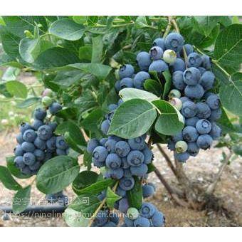 供应新品种蓝美人蓝莓苗产量 报价