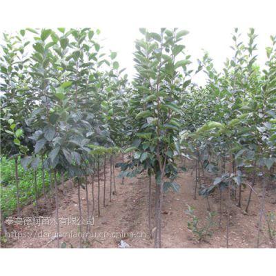磨盘柿子苗价格 个大 磨盘柿子树苗品种介绍