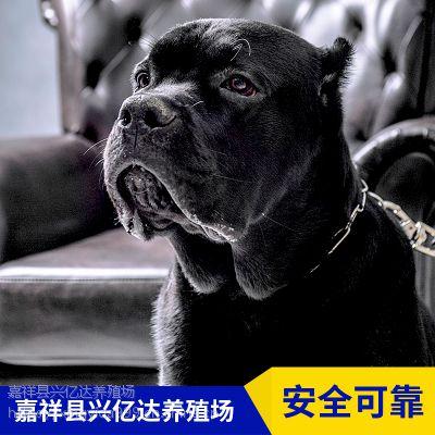 嘉祥县兴亿达特种幼年卡斯罗犬幼崽养殖场价格
