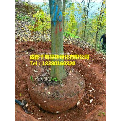 供应直径16-18公分朴树,工程苗木朴树价格,朴树***新报价