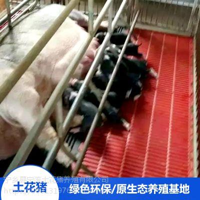 流沙河宁乡土花猪生态养殖备孕母猪野猪排骨厂家价格